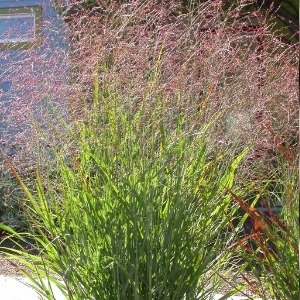 Picture of switchgrass in bloom