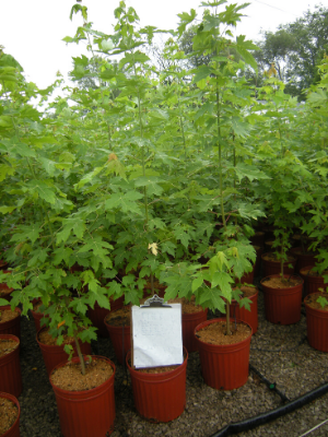 Maples at the nursery
