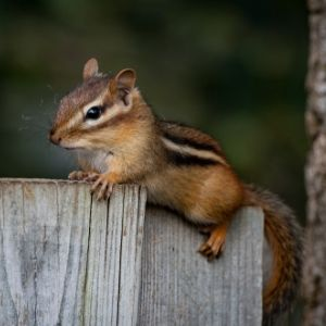 Chipmunk on a wooden fence