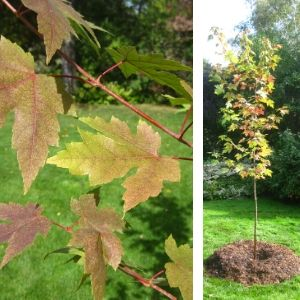 Freeman maple at planting in the Fall, 2013