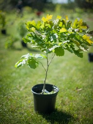 Small oak ready in pot, ready to be planted