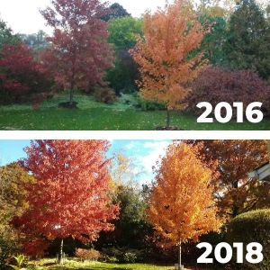 Comparison of two Freeman maples in 2016 (smaller) and 2018 (larger)
