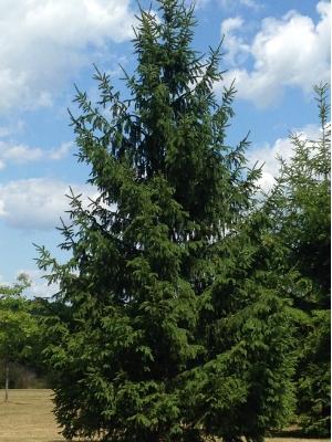 Majestic white spruce