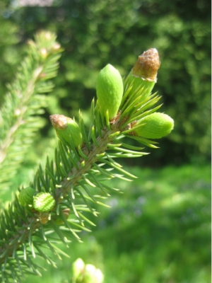Tips on a white spruce