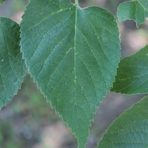 Close up of leaf with serrated edges