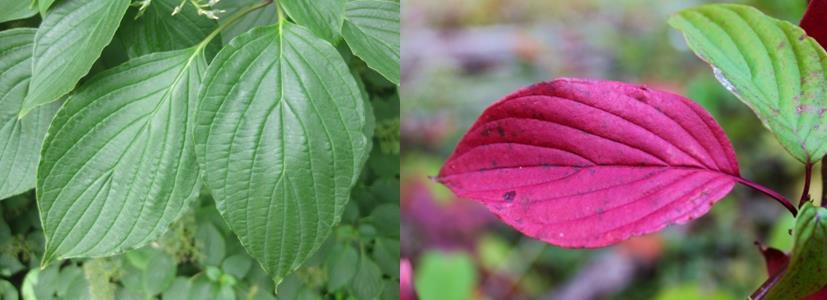 spring and fall pagoda dogwood leaves