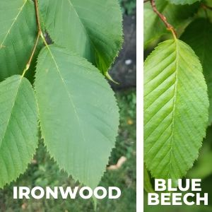 ironwood leaves next to blue beech leaves
