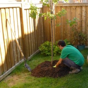 man placing mulch ring around a tree