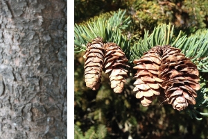 Close-up of white spruce bark and cones hanging on a branch