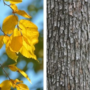 yellow fall leaves and close up of rough bark