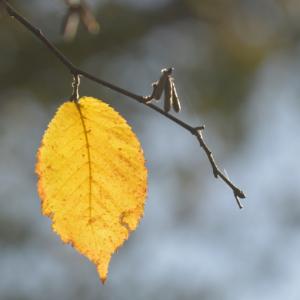 Ironwood leaf in the fall.
