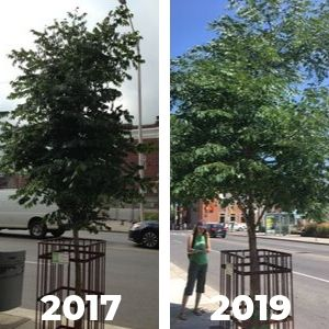 Side-by-side of the same tree in 2017 and 2019