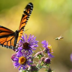 Monarch butterfly and native bee fly towards a flower