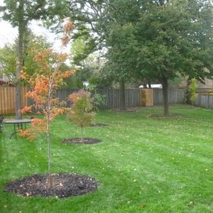 Young trees planted in a yard