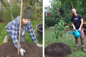 Arborists 1. Mulching a new tree, 2. Watering a new tree