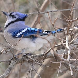 Blue jay on a tree branch