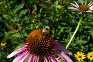 Bumble bee on a purple coneflower