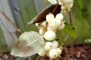 Snowberry fruit on the branch