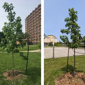 Collage of two trees in TCHC properties