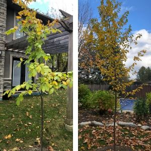 Side-by-side of American elm and paper birch