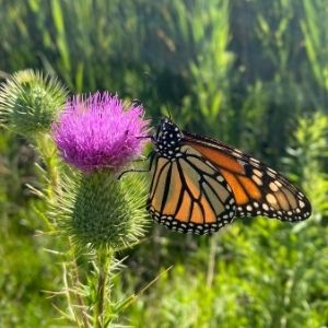 Monarch on a thistle