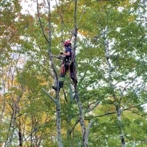 Natalie working as a climbing arborist