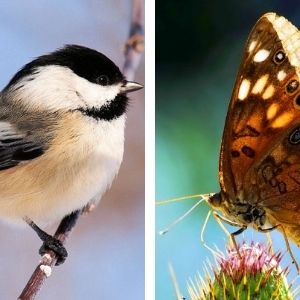 Collage of chickadee and hackberry butterfly