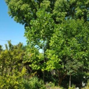 Tulip tree with surrounding greenery