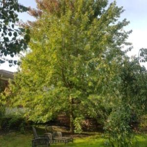 Tall Freeman maple in a backyard