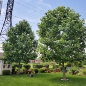 Two large tulip trees planted side by side