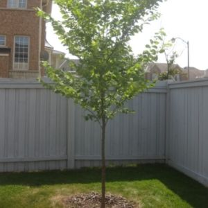 Recently planted tree