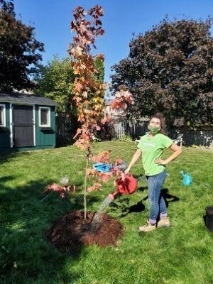 Adriana watering a maple freeman tree