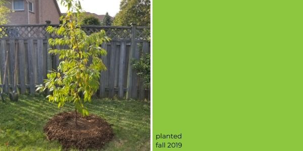 Pin cherry tree planted in 2019