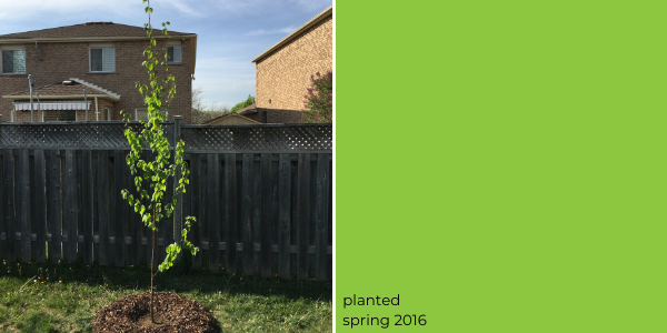 paper birch planted in spring 2016