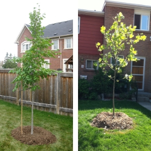 A tree planted in a backyard and tree planted in a front yard