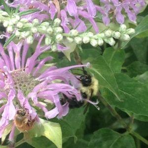 Bee among bergamot flowers