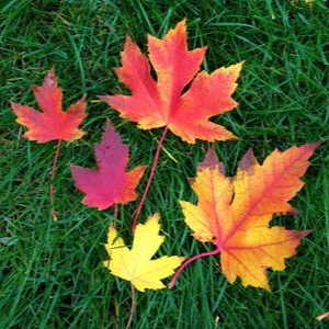 Freeman maple leaves of different colours