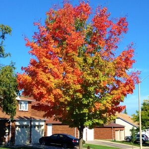 Sugar maple street tree starting to turn colours