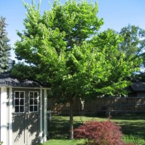 Hackberry in a backyard