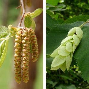 ironwood yellow catkins and pale fruit pod