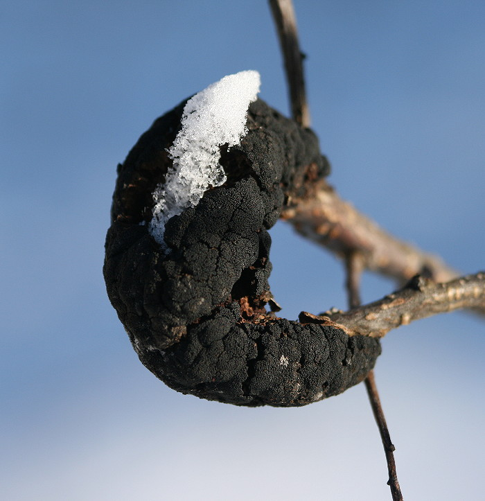 Branch affected by black knot