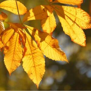 Golden Ohio buckeye leaves