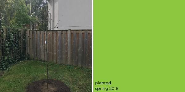 honey locust tree planted in 2018