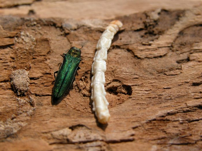 Emerald Ash Borer Adult and Larva