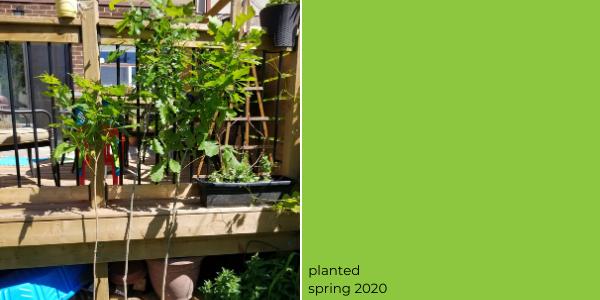 bur oak tree planted spring 2020