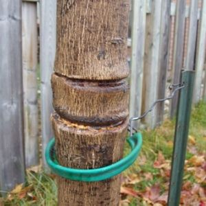 clear girdling around a tree trunk after removing ties