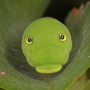 Zoom in of Eastern tiger swallowtail caterpillar