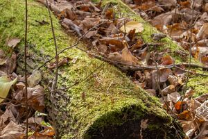 Fallen trunk surrounded by a bed of leaves