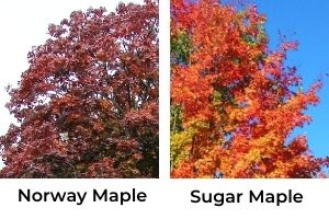 Norway maple vs sugar maple