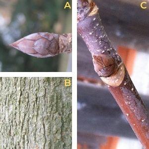 Collage of Ohio buckeye features